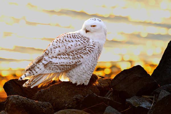 Photograph - Snowy Owl In Setting Sun by William Jobes