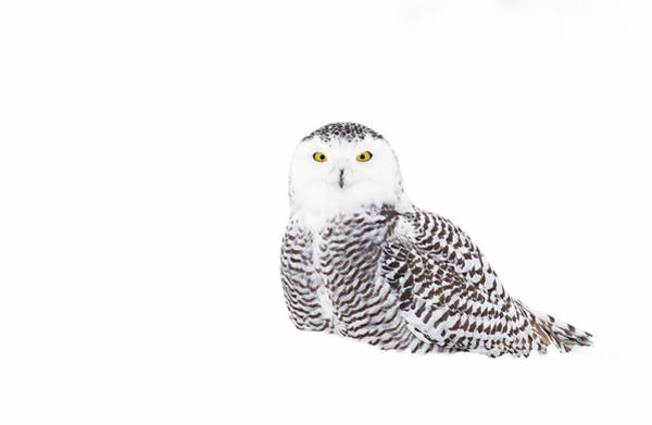 Camouflage Photograph - Snowy Owl In Winter Snow by Jim Cumming