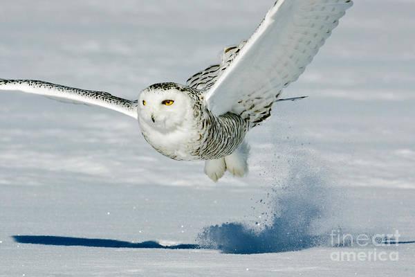 Photograph - Snowy Owl by Jim Zipp