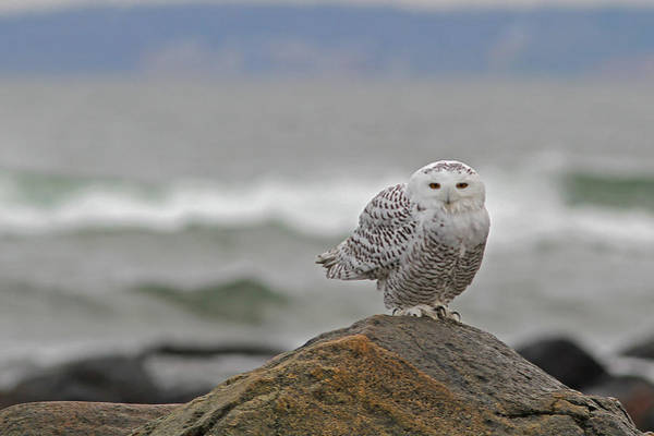 Photograph - Snowy Owl by Juergen Roth