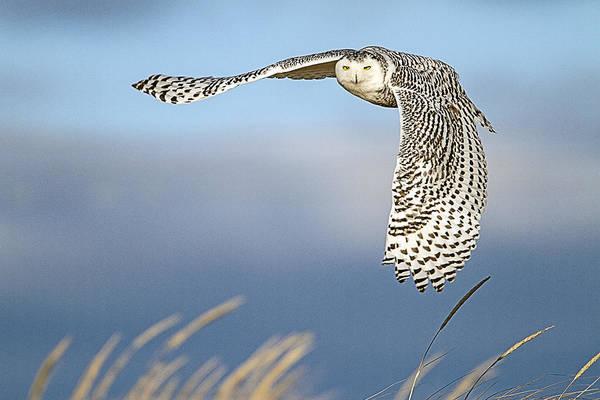 Snowy Owl Over The Dunes Art Print