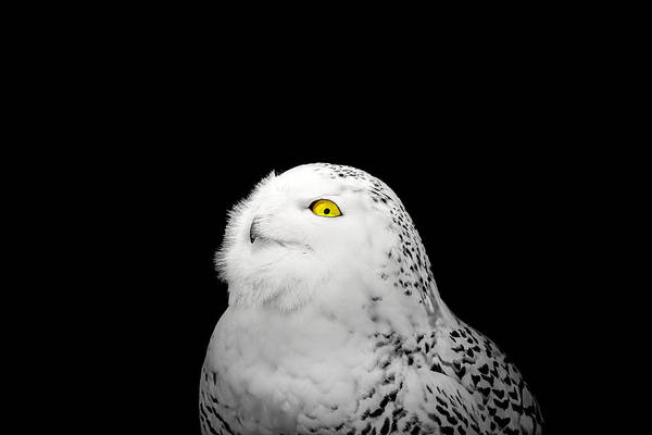 Photograph - Snowy Owl by Peter Lakomy