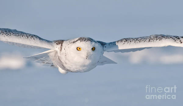 Photograph - Snowy Owl Pictures 10 by Michael Cummings