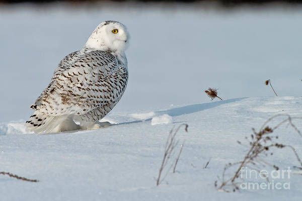 Photograph - Snowy Owl Pictures 11 by Michael Cummings