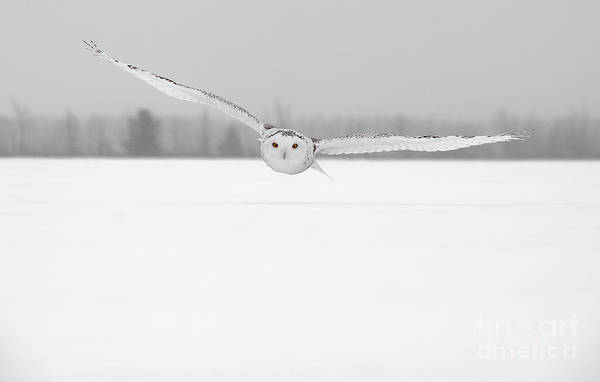 Photograph - Snowy Owl Pictures 3 by Michael Cummings