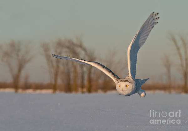 Photograph - Snowy Owl Pictures 5 by Michael Cummings