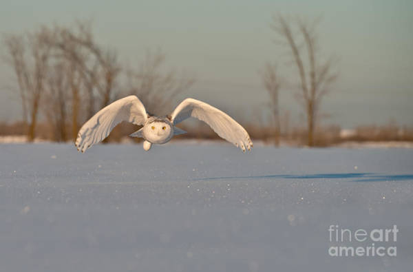 Photograph - Snowy Owl Pictures 6 by Michael Cummings
