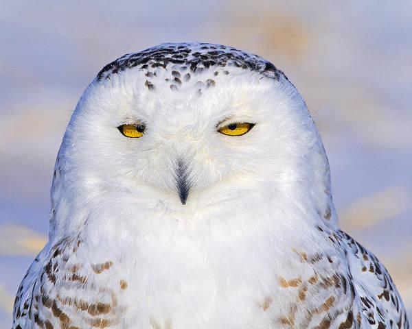 Photograph - Snowy Owl Portrait by Tony Beck