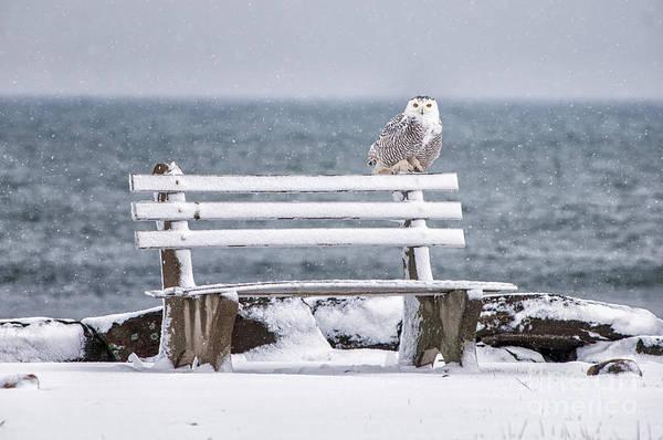 Nh Photograph - Snowy Owl Rye N H by Scott Thorp