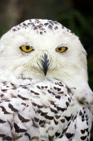 Strigidae Photograph - Snowy Owl by Steve Allen/science Photo Library