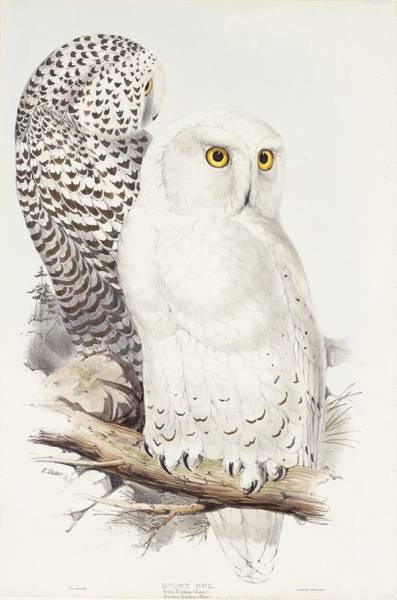 Wall Art - Painting - Snowy Owl by Edward Lear