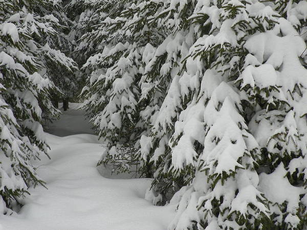 Aroostook County Photograph - Snowy Path by Gene Cyr