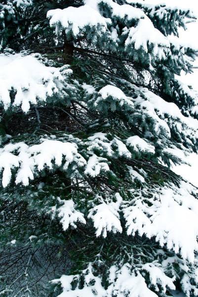 Wall Art - Photograph - Snowy Pine by Nickaleen Neff