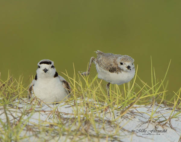 Photograph - Snowy Plover Chick by Mike Fitzgerald