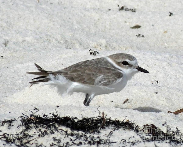 Photograph - Snowy Plover On Beach At Perdido Key Fl by Lizi Beard-Ward