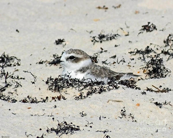 Photograph - Snowy Plover Perdido Key Fl by Lizi Beard-Ward