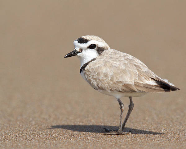 Photograph - Snowy Plover by Steve Kaye
