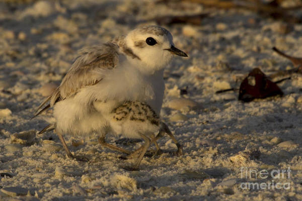 Photograph - Snowy Plover Transformation Into A Spiderbird 1 by Meg Rousher