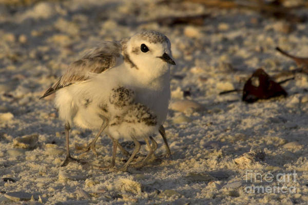 Photograph - Snowy Plover Transforms Into A Spiderbird 6 by Meg Rousher