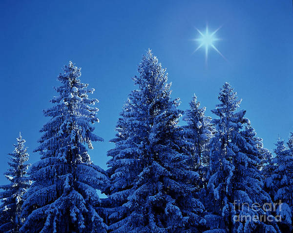 Photograph - Snowy Spruces by Hermann Eisenbeiss