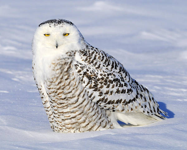 Photograph - Snowy by Tony Beck
