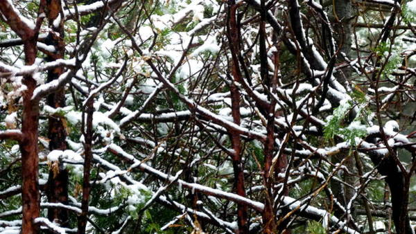 Photograph - Snowy Trees by Jeff Lowe