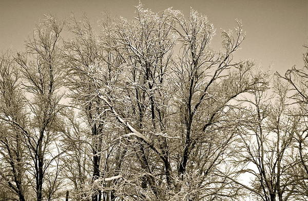 Photograph - Snowy Trees by Kim Pippinger