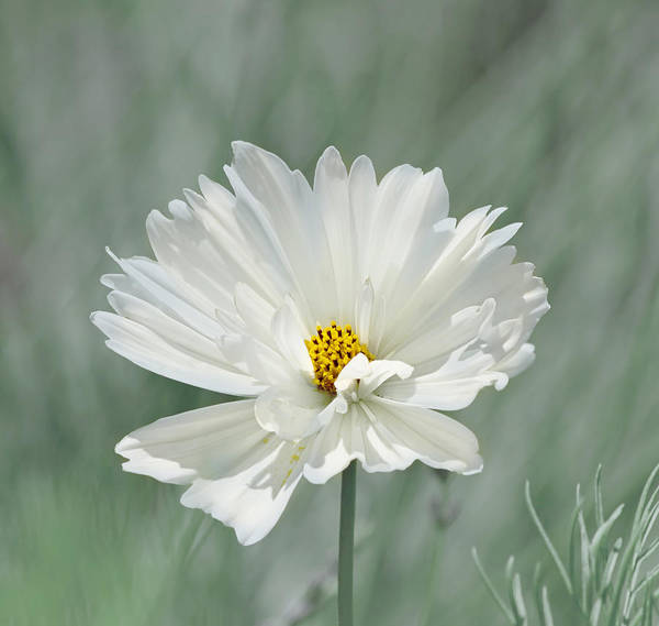 Photograph - Snowy White Cosmos by Kim Hojnacki