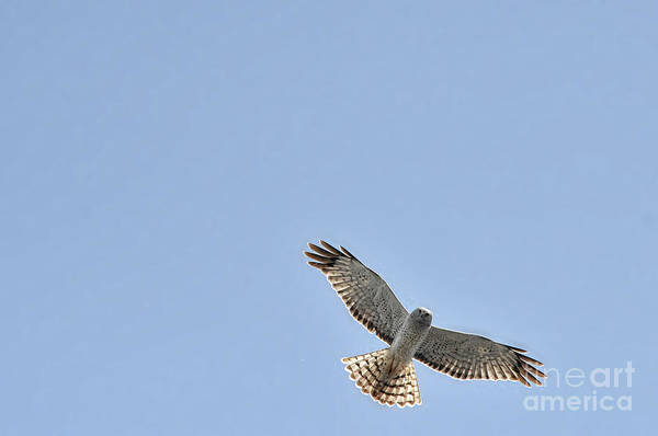 Photograph - Snowy White Owl Flying Overhead by Dan Friend