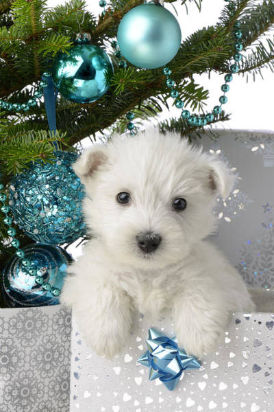 Westie Photograph - Snowy White Puppy Present by MGL Meiklejohn Graphics Licensing