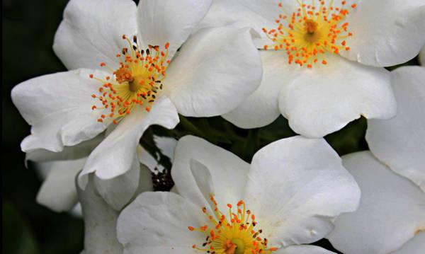Manito Park Spokane Photograph - Snowy Whites by Ellen Tully