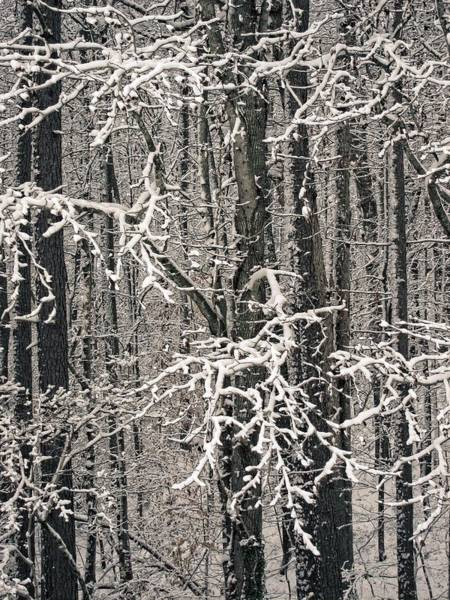 Photograph - Snowy Woods by Carol Whaley Addassi