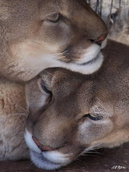 Mountain Lion Digital Art - Snuggling by Bill Stephens
