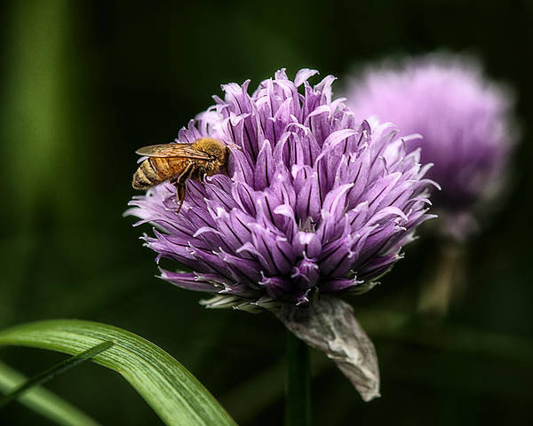 Honeybees Wall Art - Photograph - So Into You by Susan Capuano