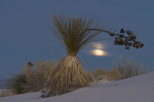 Yucca Elata Wall Art - Photograph - Soaptree Yucca And Full Moon, Nm by John Shaw