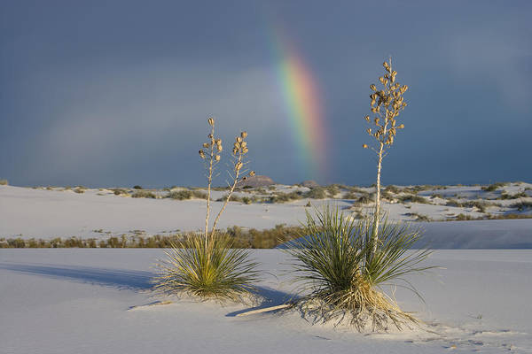 Yucca Elata Wall Art - Photograph - Soaptree Yucca And Rainbow White Sands by Tom Vezo