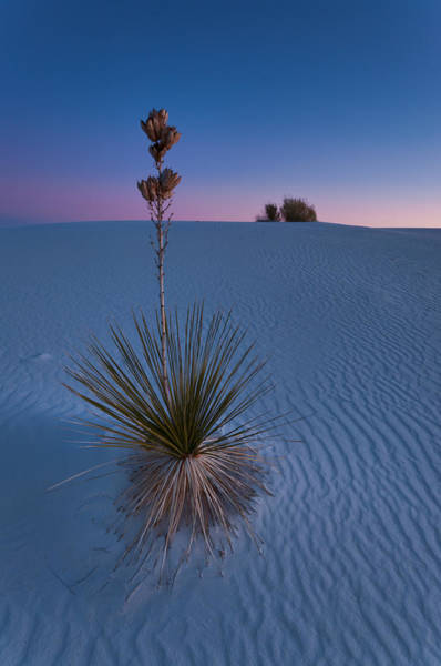 Photograph - Soaptree Yucca At Dusk by Michael Blanchette
