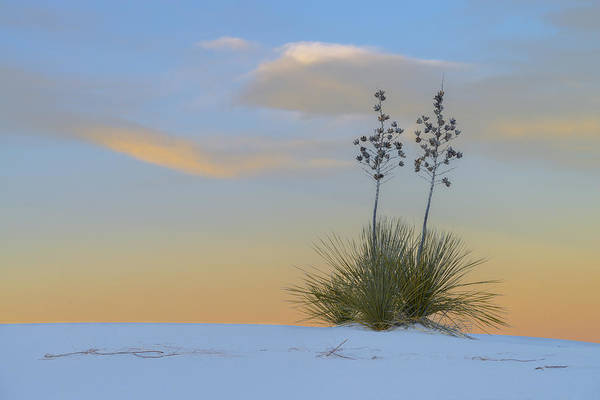 Yucca Elata Wall Art - Photograph - Soaptree Yucca At Sunset, Nm by John Shaw