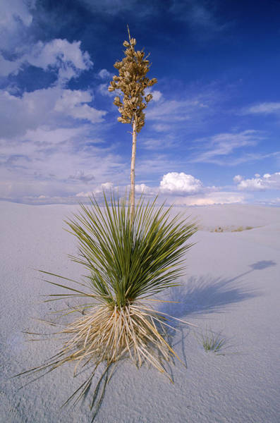 Wall Art - Photograph - Soaptree Yucca by Craig K. Lorenz