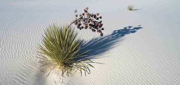 Yucca Elata Wall Art - Photograph - Soaptree Yucca Yucca Elata At Sand by Panoramic Images