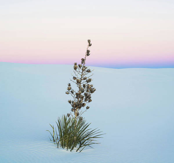 Yucca Elata Wall Art - Photograph - Soaptree Yucca Yucca Elata In Predawn by Panoramic Images