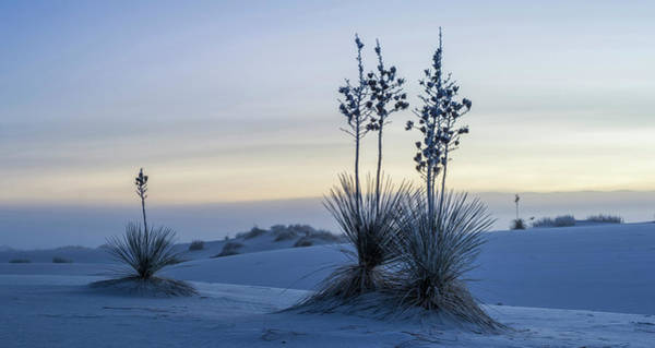Yucca Elata Wall Art - Photograph - Soaptree Yucca Yucca Elata On Frosty by Panoramic Images