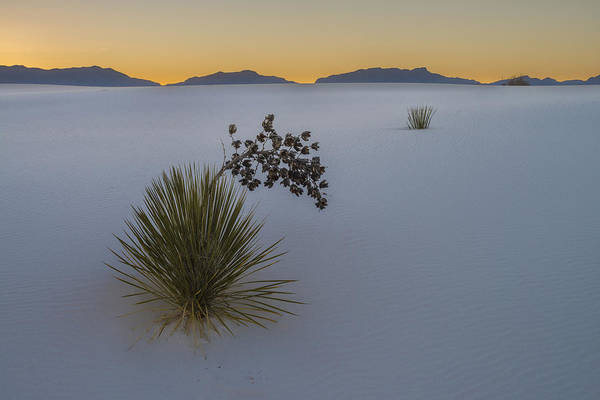Yucca Elata Wall Art - Photograph - Soaptree Yuccas At Sunset, Nm by John Shaw
