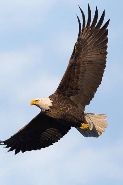 Eagle In Flight Photograph - Soaring American Bald Eagle by Bill Wakeley