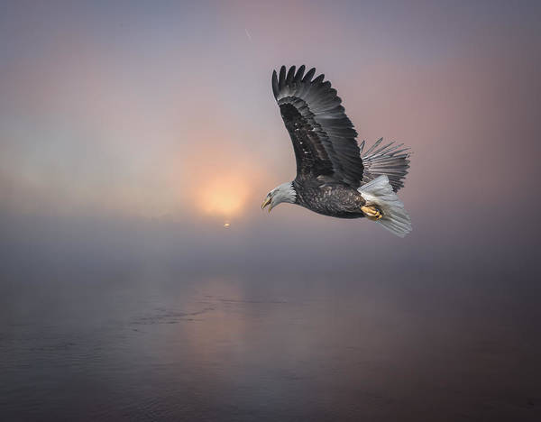 Haliaeetus Leucocephalus Photograph - Soaring At Sunrise by Thomas Young