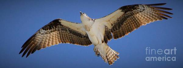 River Hawk Photograph - Soaring Away by Quinn Sedam