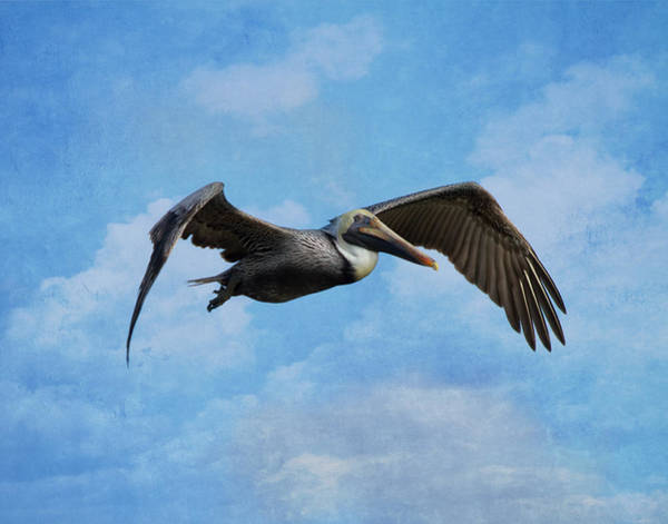 Brown Pelicans Wall Art - Photograph - Soaring By by Kim Hojnacki