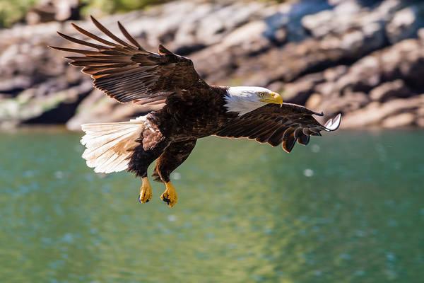 British Columbia Photograph - Soaring Eagle by Ian Stotesbury