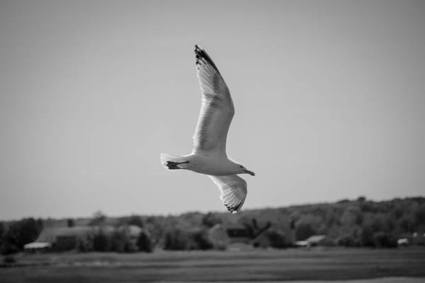 Photograph - Soaring Gull Black And White by Kirkodd Photography Of New England