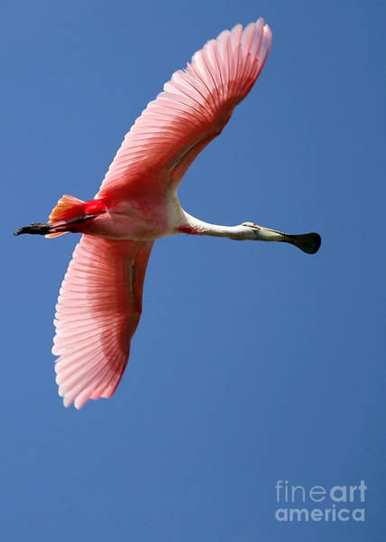 Photograph - Soaring High Roseate Spoonbill by Sabrina L Ryan